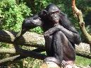 Human Characteristics of Chimps
