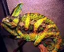 Colorful Lives Of Chameleons
